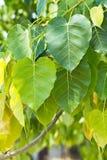 菩提树树 免版税库存图片