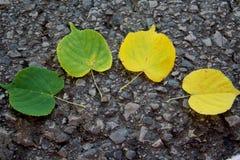 菩提树槭树绿色黄色叶子叶子在秋天 免版税库存照片