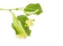 菩提树的花在枝杈特写镜头的 免版税库存图片