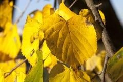 菩提树的被染黄的叶子 库存图片