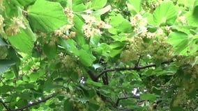 菩提树离开并且开花与吹的风紧密  椴树属 影视素材