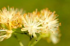 菩提树花粉 免版税图库摄影
