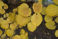 菩提树Leafage在10月中旬 库存照片