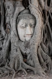 菩萨图象头在树的在Wat Ma Ha寺庙,阿尤特拉利夫雷斯,泰国 免版税库存图片
