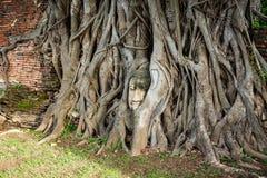 菩萨头纠缠了与树根, Wat Mahathat,阿尤特拉利夫雷斯prov 免版税库存照片