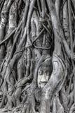 菩萨雕象头在树的在Wat Mahathat,阿尤特拉利夫雷斯,泰国根源 库存图片