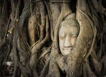菩萨顶头根结构树 库存图片