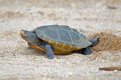 菱纹背响尾蛇下蛋水龟 免版税图库摄影