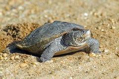 菱纹背响尾蛇下蛋水龟 库存图片