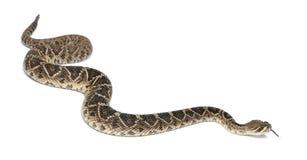 菱纹背响尾蛇东部响尾蛇 库存图片