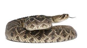 菱纹背响尾蛇东部响尾蛇 免版税库存照片