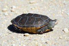 菱纹背响尾蛇水龟 库存图片