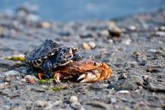 菱纹背响尾蛇水龟(Malaclemys水龟) 库存照片