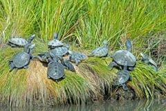 菱纹背响尾蛇水龟的 库存图片