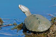 菱纹背响尾蛇水龟的 免版税库存照片