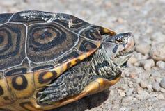 菱纹背响尾蛇水龟 免版税库存照片