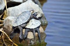 菱纹背响尾蛇s水龟 库存照片