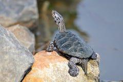 菱纹背响尾蛇s水龟 库存图片