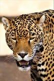 菲尼斯动物园,自然保护亚利桑那中心,菲尼斯,亚利桑那,美国 免版税库存照片