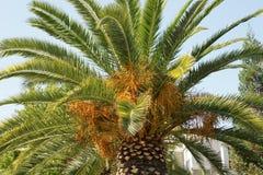 菲尼斯canariensis,加那利群岛枣椰子 库存图片