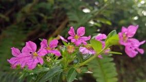 菲律宾当地紫色花 免版税库存照片