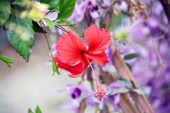 菲律宾的花 库存照片