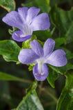 菲律宾紫罗兰色花 免版税库存图片