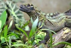 菲律宾sailfin蜥蜴Hydrosaurus pustulatus 免版税库存照片