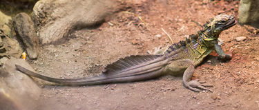 菲律宾Sailfin蜥蜴 免版税库存图片