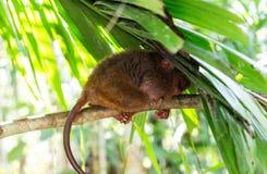 菲律宾tarsier睡觉在树 库存图片