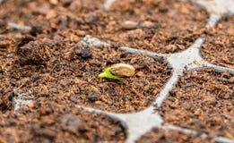 萌芽种子 免版税库存图片