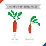 萝卜的两不同大小 免版税库存图片