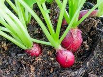 萝卜,幼芽的Raphanus,生长在土壤 图库摄影