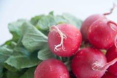 萝卜-新和美好的桃红色圈子 免版税库存照片