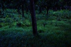 萤火虫飞行在森林里在晚上在Prachinburi泰国 长的曝光技术 图库摄影