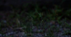 萤火虫飞行并且坐草叶 影视素材