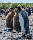 萨利平原的企鹅国王 库存照片