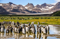 萨利平原的企鹅国王 免版税库存图片