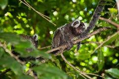 萨吉猴子 库存照片