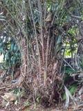 萨拉察河salak树 免版税图库摄影