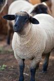 萨福克绵羊 库存图片