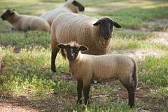 萨福克绵羊 库存照片