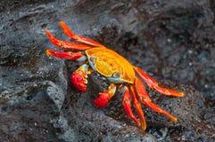 萨莉在一个黑岩石的lightfoot螃蟹。 免版税库存图片