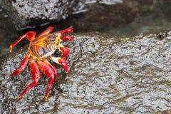 萨莉Lightfoot螃蟹在加拉帕戈斯群岛 免版税库存图片