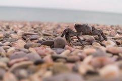 萨莉Lightfoot螃蟹 黑色克里米亚海运 克里米亚半岛螃蟹 食物 库存图片