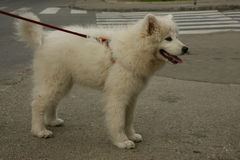 萨莫耶特人小狗摆在 免版税图库摄影