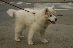 萨莫耶特人小狗摆在 免版税库存照片