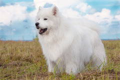 萨莫耶特人小狗 库存图片