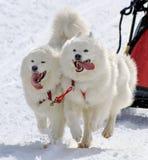 萨莫耶特人拉雪橇狗队在工作 库存图片