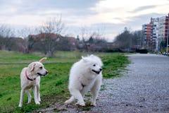 萨莫耶特人狗和她的朋友 免版税库存图片